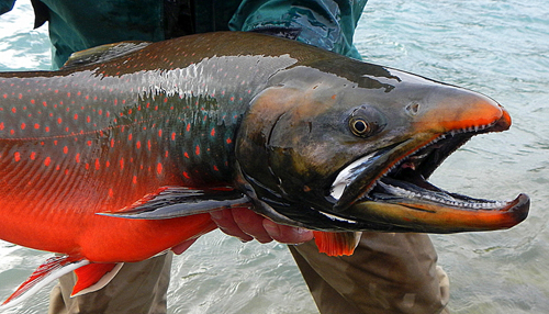 Different types of fish and how to cook them for Arctic char fish